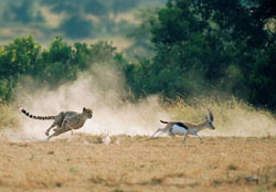 На сафари. Охота леопарда наантилопу